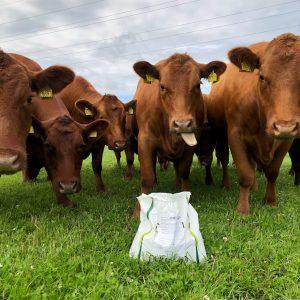 Kvæg foder